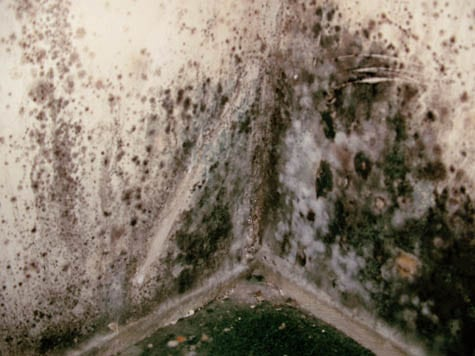 Toxic Black Mold